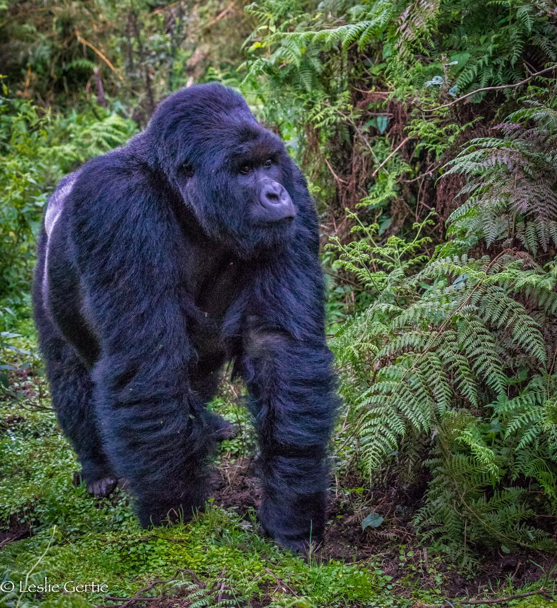 Rwanda Gorilla-2640