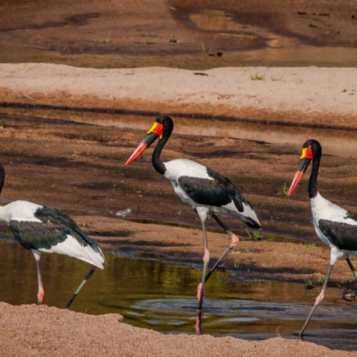Saddlebilled Storks-8202
