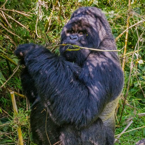 Silverback in Rwanda-2315