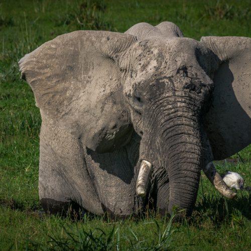 Amboseli Bull-2793