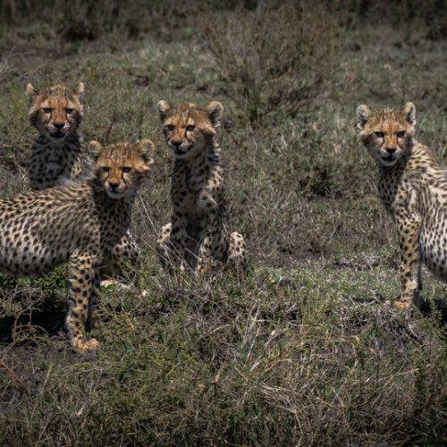 Cheetah Cubs-3335