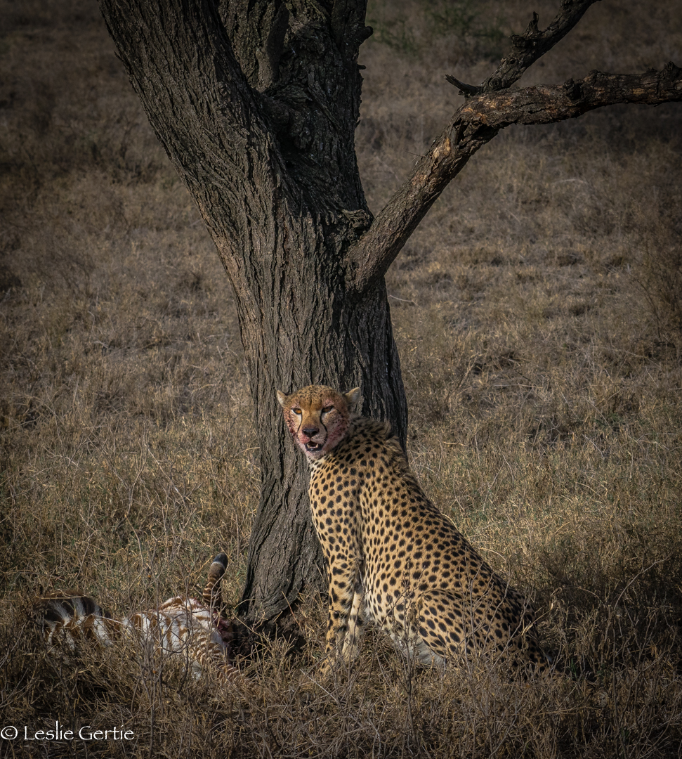 Cheetah with Zebra Kill-3695