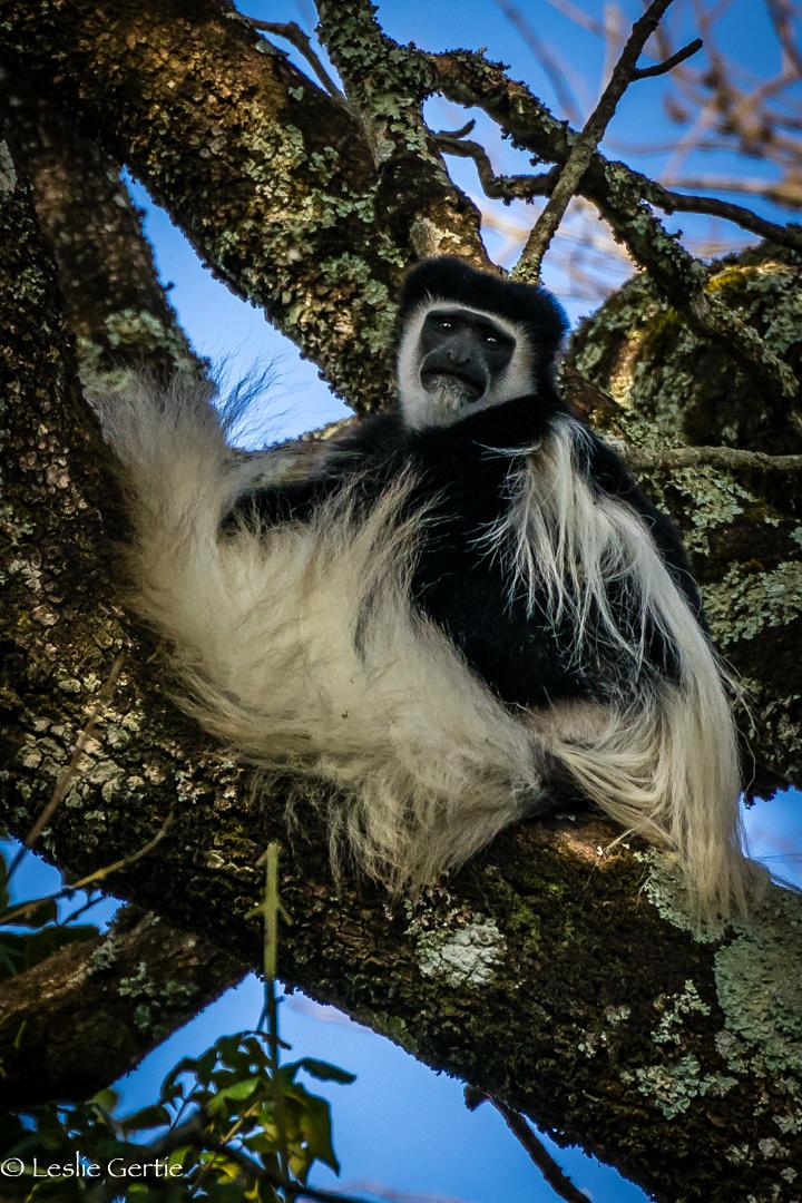 Colobus Monkey-1887