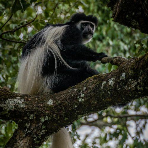Colobus Monkey-2189