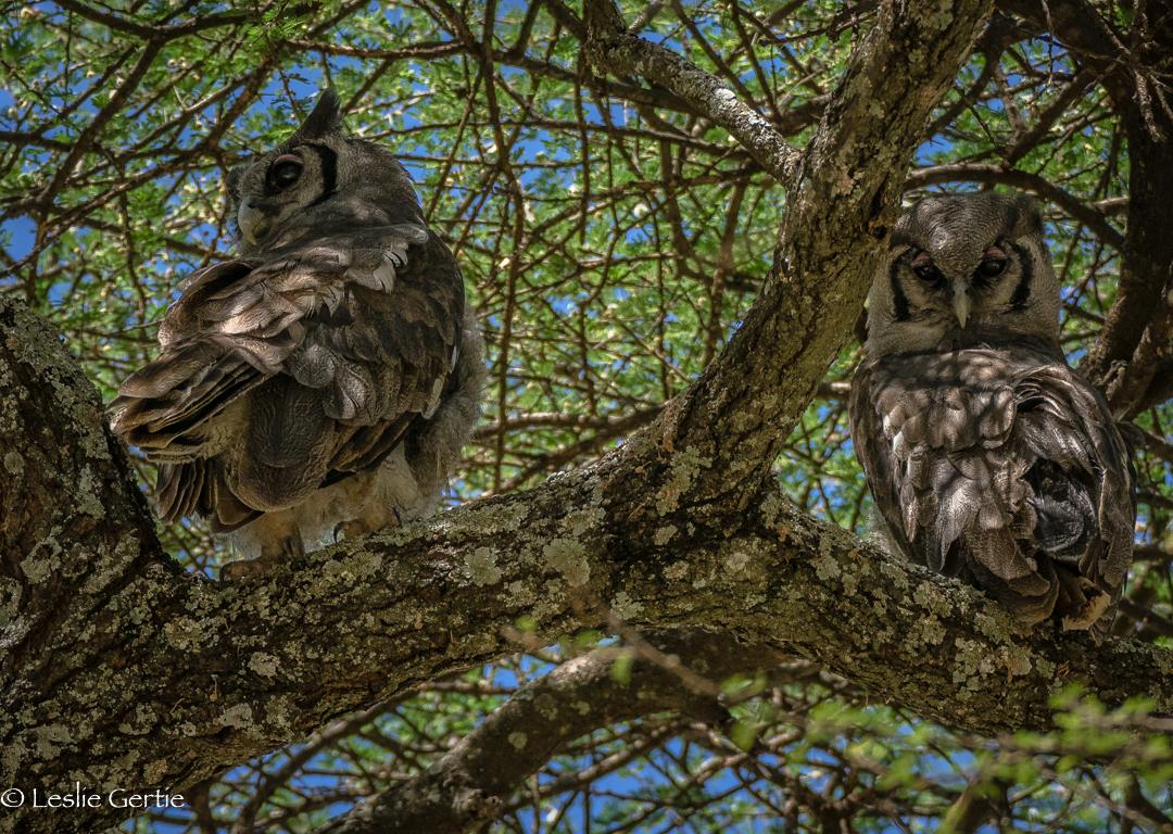 Eagle Owls-2934