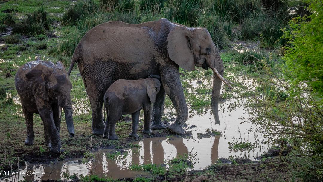 Elephants at Dusk-2354