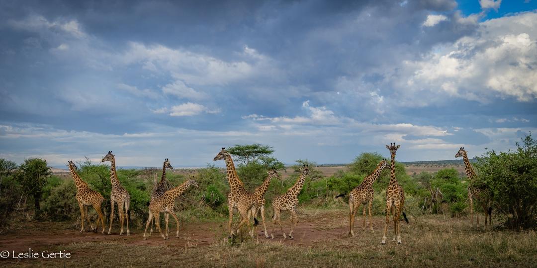 Giraffes on the Serengeti-325