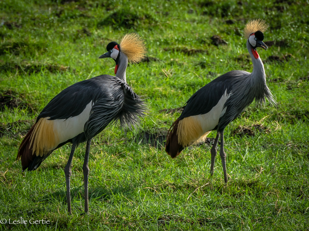Glorious Crowned Cranes-2448