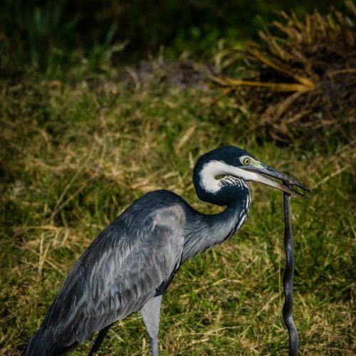 Heron with Snake Dinner-2756