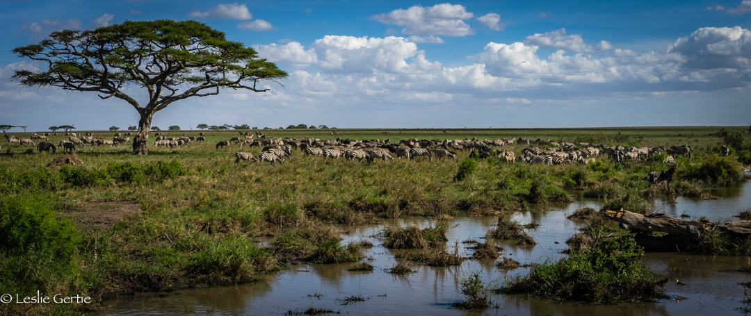 Migration Herd-301