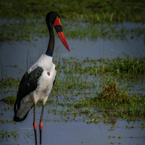 Saddlebilled Stork-2361