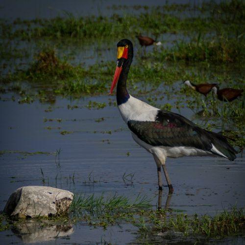 Saddlebilled Stork-2418