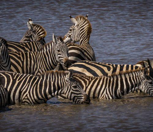 Thirsty Zebras-3173