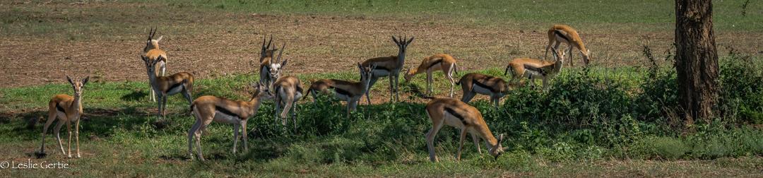 Thompson's Gazelles-4180
