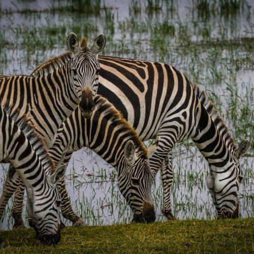 Zebras in Amboseli-2595