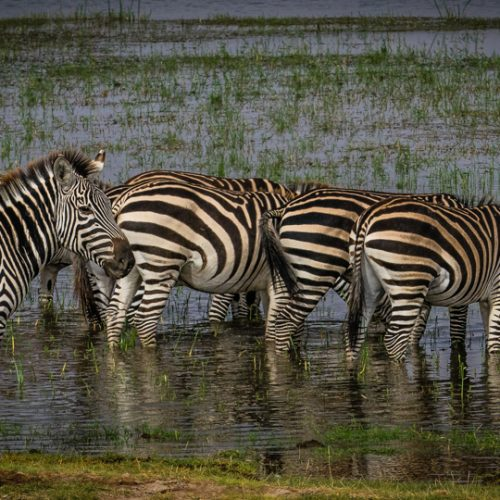 Zebras in Amboseli-2627