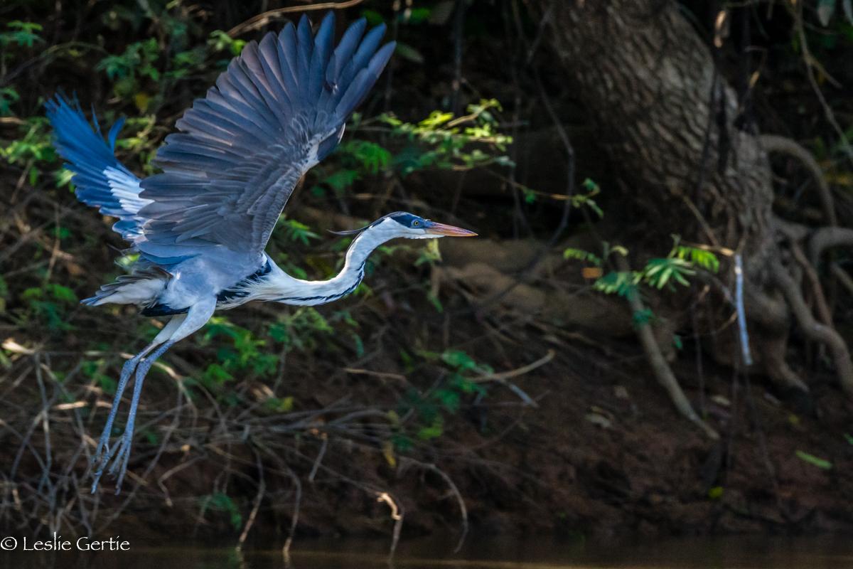 Heron on Takeoff-2111