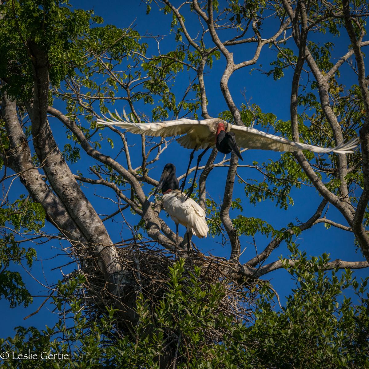 Jabiru at Nest-2811
