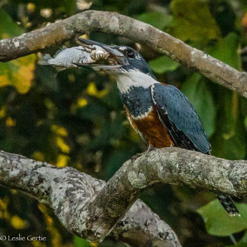 Kingfisher-3845