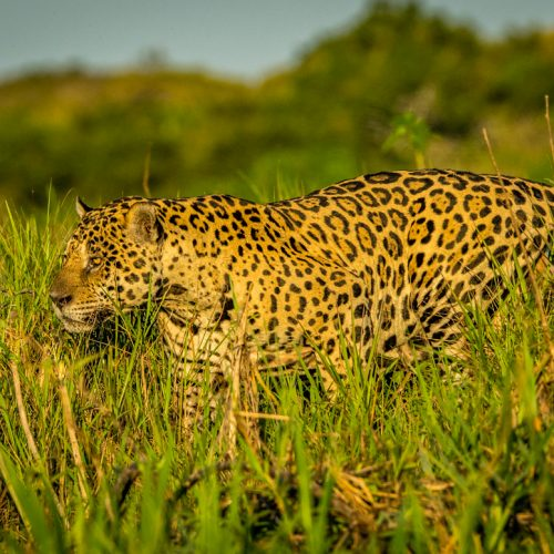 'Mick Jaguar'-2313