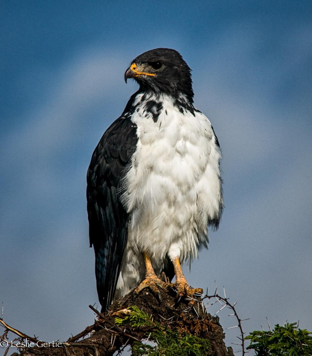 Augur Buzzard-Serengeti-3373