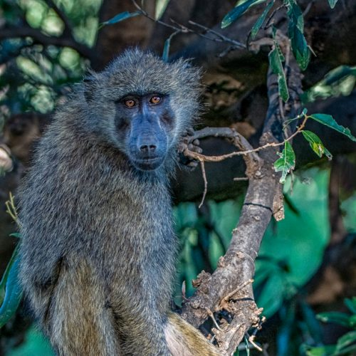 Baboon-Samburu-251