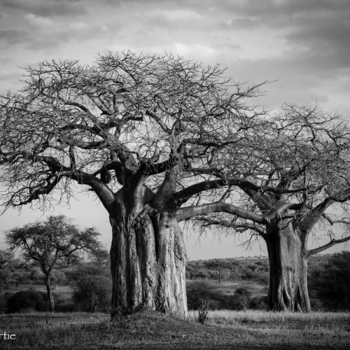Baobab Trees-3038