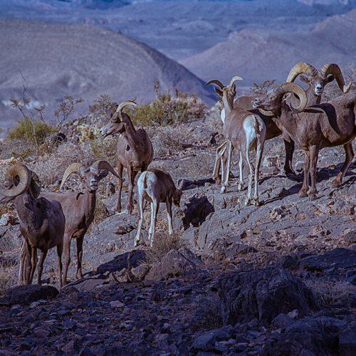 Bighorn Herd-185-16