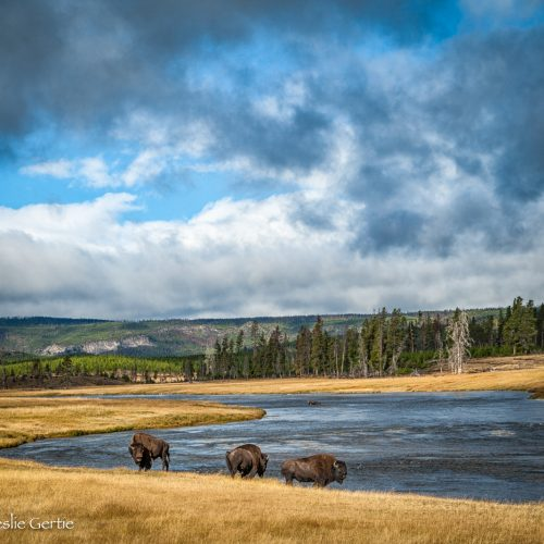 Buffalo Along Firehole River-5137