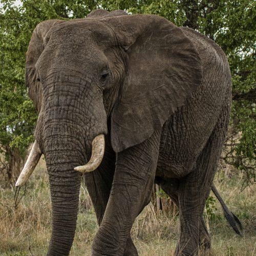 Bull Elephant-Tarangire-5121