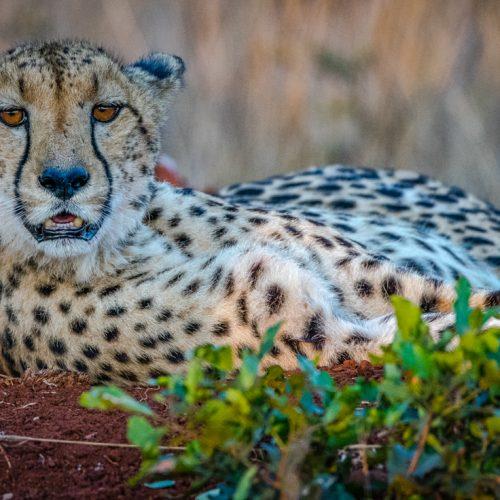 Cheetah-2109