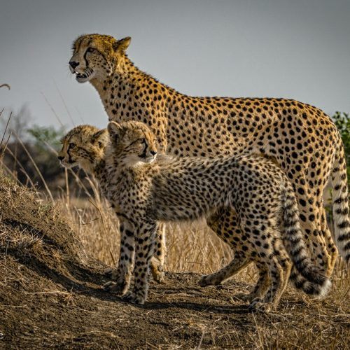 Cheetah Family-1557