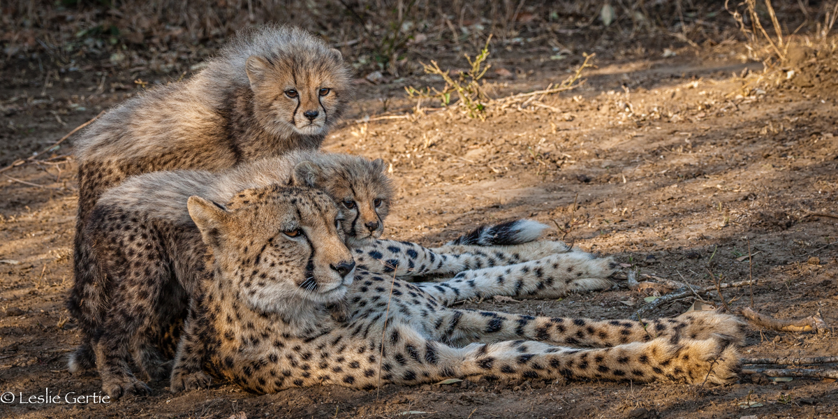 Cheetah Family-5615