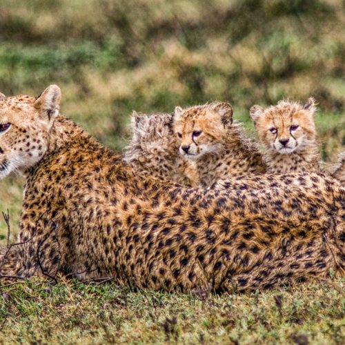 Cheetah Family-Ndutu-1937