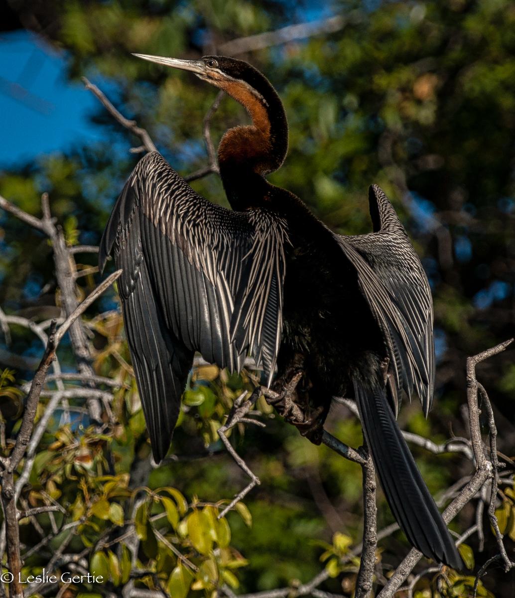 Chobe River Cormorant-7963