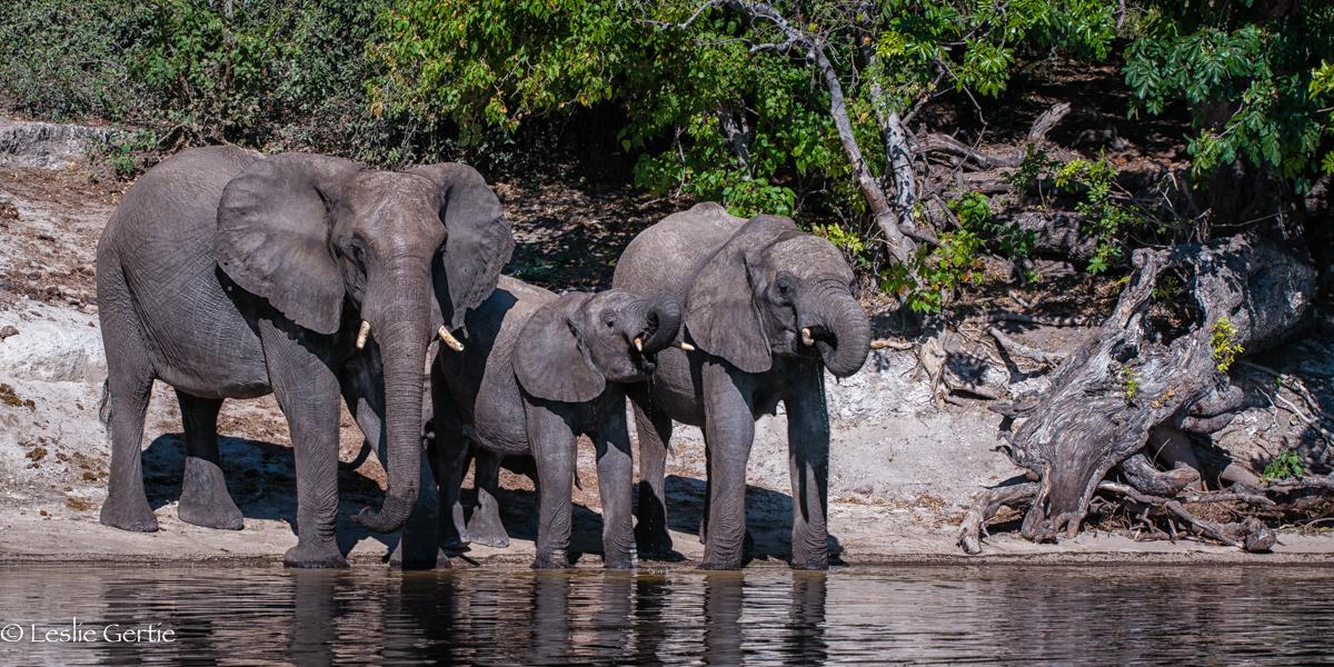 Chobe River Elephants-7825