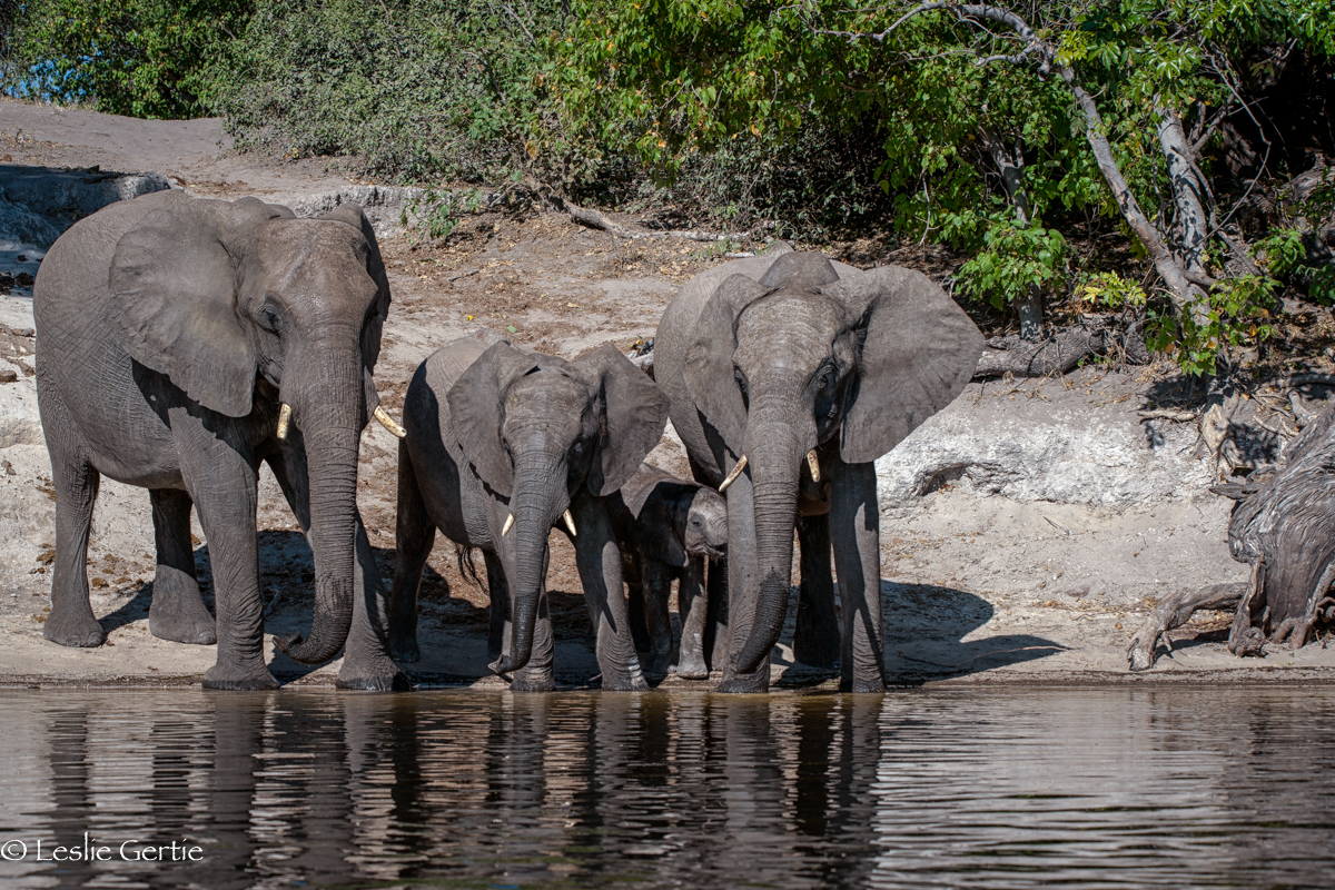 Chobe River Elephants-7851