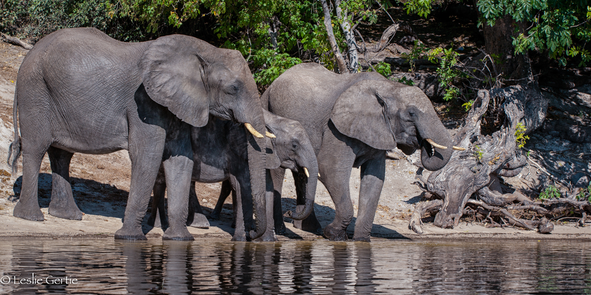 Chobe River Elephants-7860