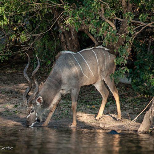 Chobe River Kudu-8031