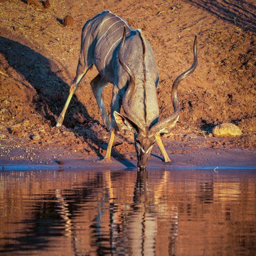 Chobe River Kudu-8237