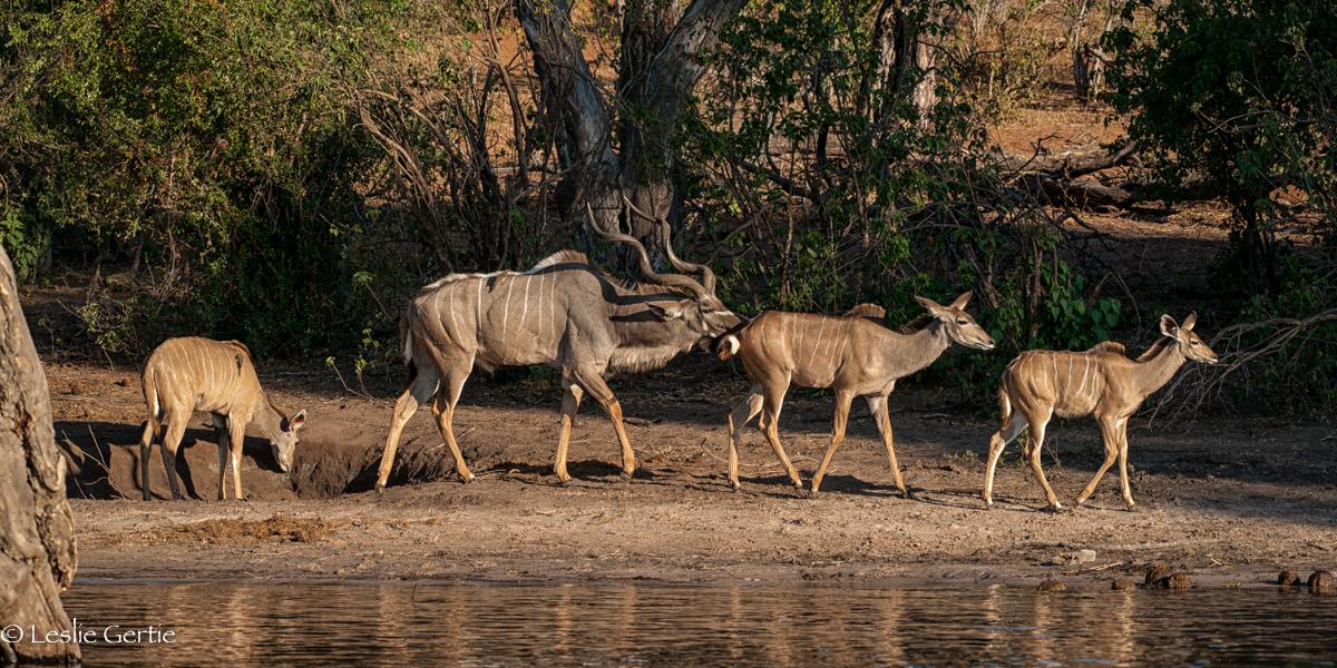 Chobe River Kudu Herd-8069