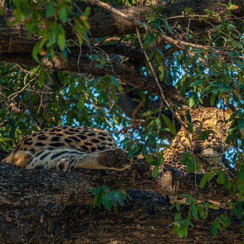 Delta Leopard-8335