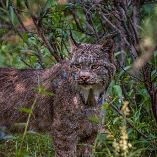 Denali Lynx-2351