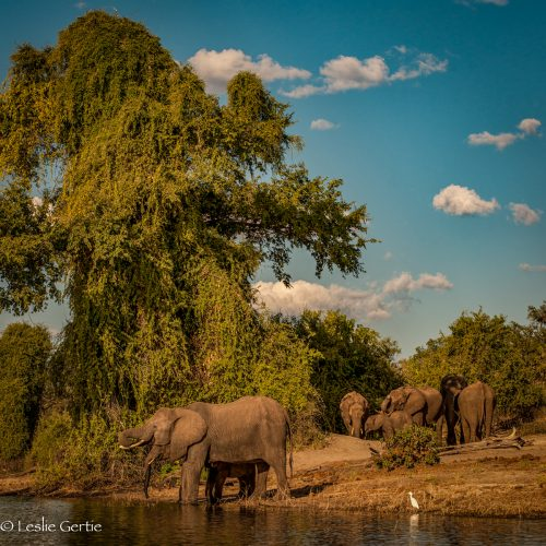 Elephants-Chobe River-7628