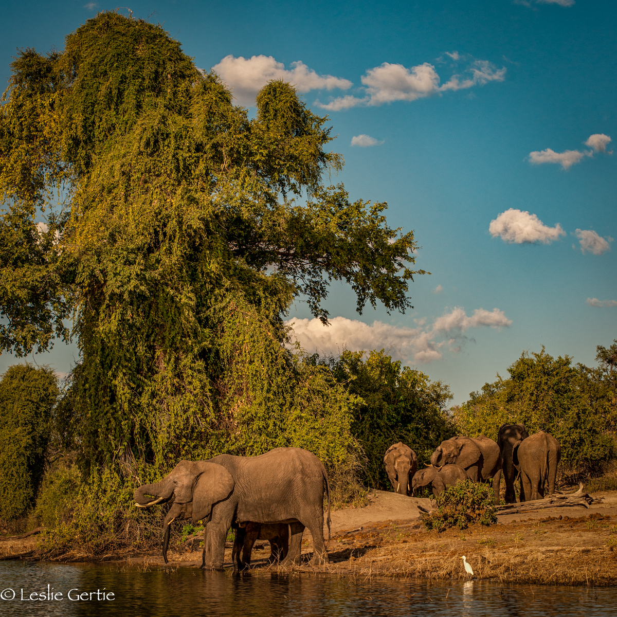 Elephants-Chobe River-7628
