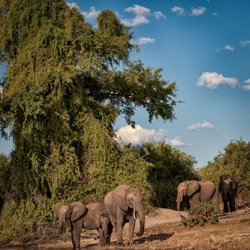 Elephants on the Chobe River-7640