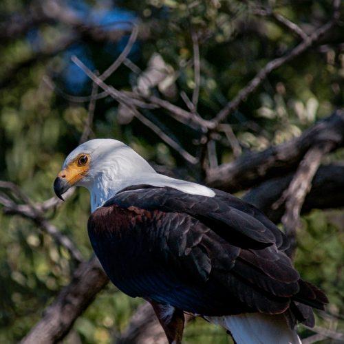 Fish Eagle-8278