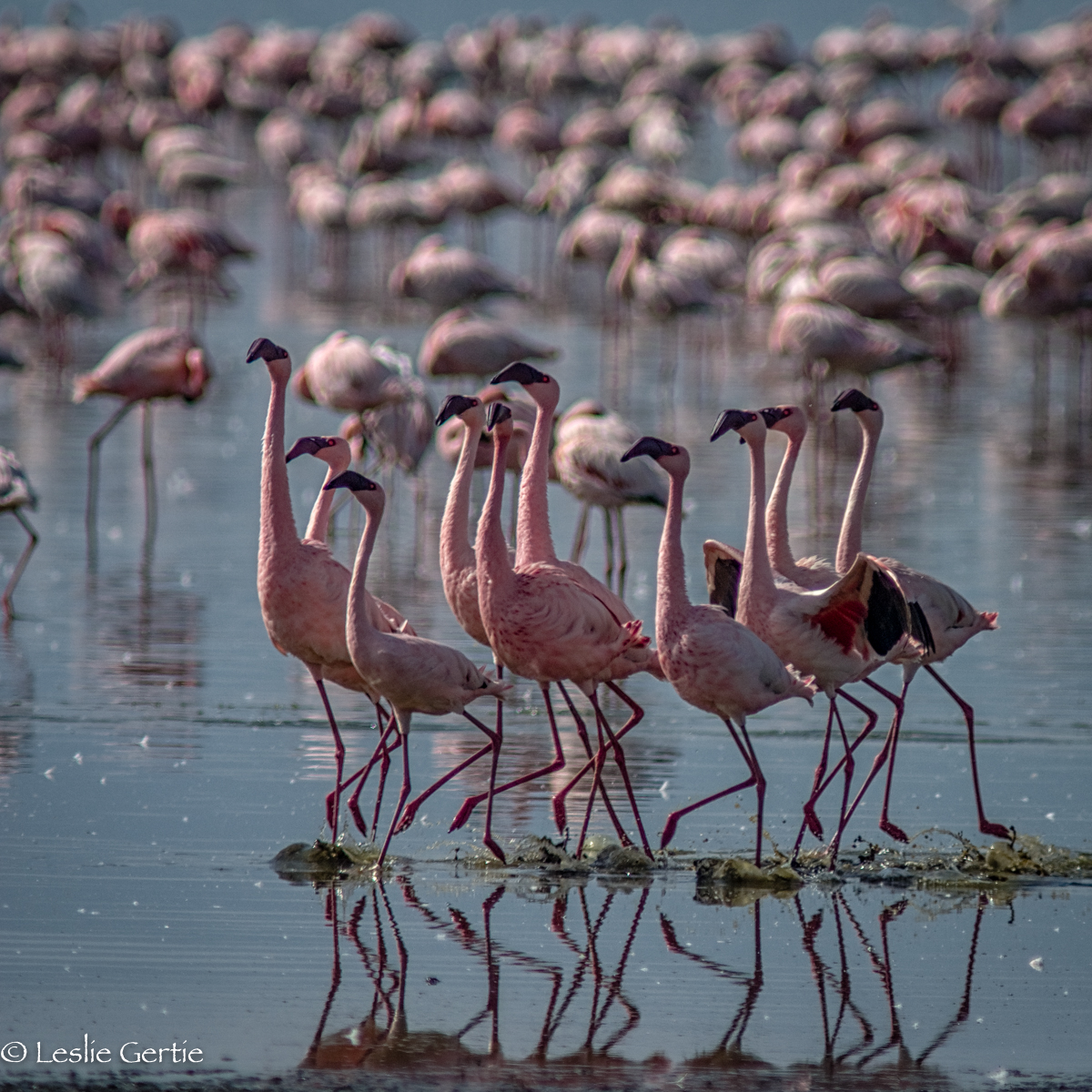 Flamingos-Lake Nakuru-2107