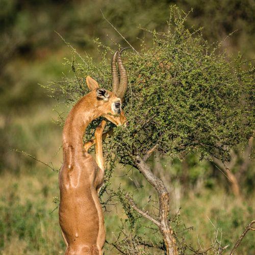 Gerenuk-Samburu-790