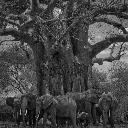 Giants of Tarangire-3059